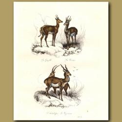 Antelope and Gazelle