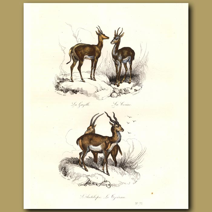 Antique print. Antelope and Gazelle