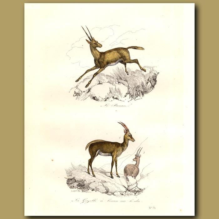 Antique print. Gazelles