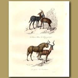 Antelopes - Klippspringer, Gnou, Blue Antelope, Harnessed