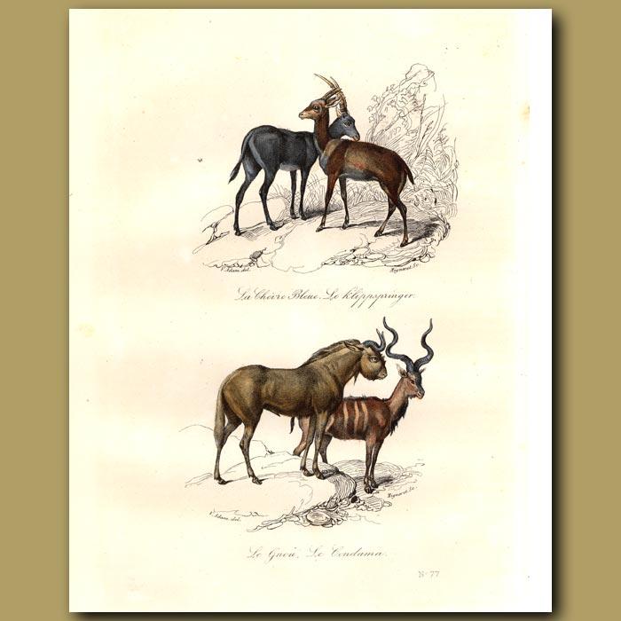 Antique print. Antelopes - Klippspringer, Gnou, Blue Antelope, Harnessed