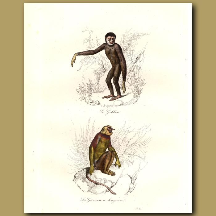 Antique print. Monkeys - Gibbon and Long Nosed Guenon