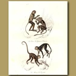 Monkeys - Le Douc, La Guenon, Le Coaita, La Mono