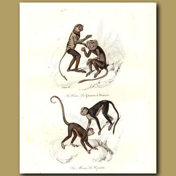 Antique print. Monkeys - Le Douc, La Guenon, Le Coaita, La Mono