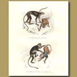 Monkeys - du Malbrouck, Le Moustac, du Callitriche
