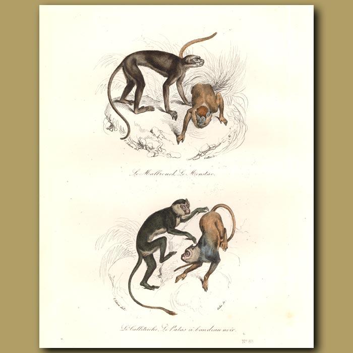 Antique print. Monkeys - du Malbrouck, Le Moustac, du Callitriche
