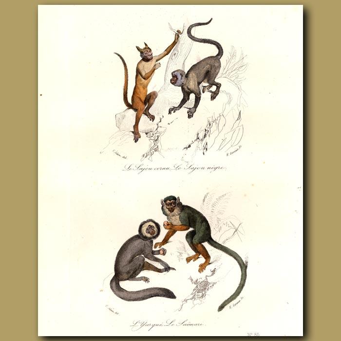Antique print. Horned Monkey (Sajou cornu) and other South American monkeys