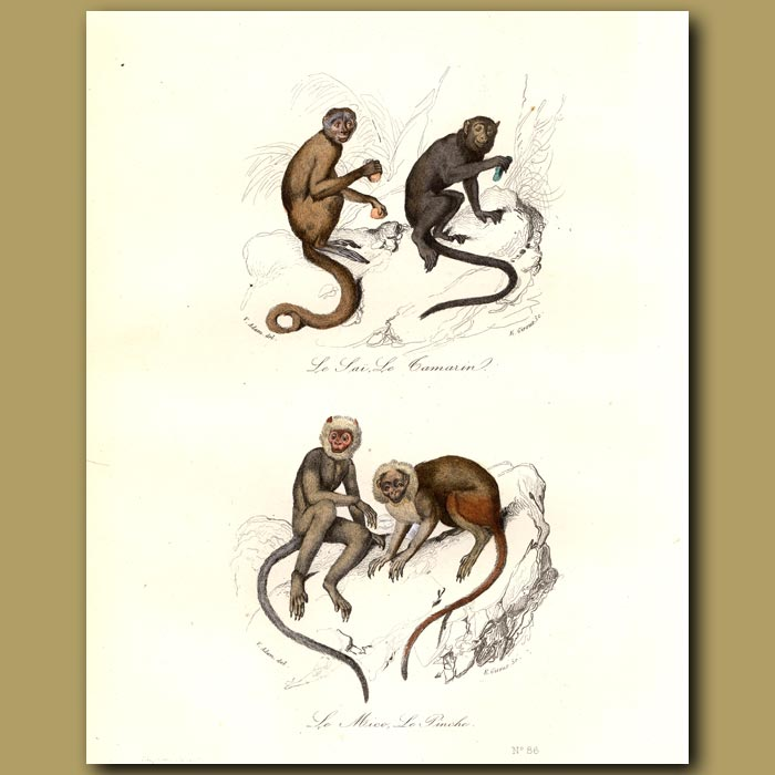 Antique print. Tamarin, Mico and Pinche Monkeys (from Amazonia)