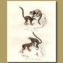 Mokoko and Maki Monkeys (SE Asia)