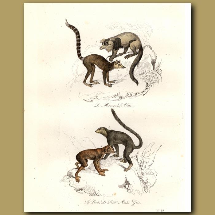 Antique print. Mokoko and Maki Monkeys (SE Asia)