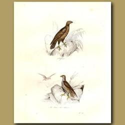 Osprey And Blue Hawk