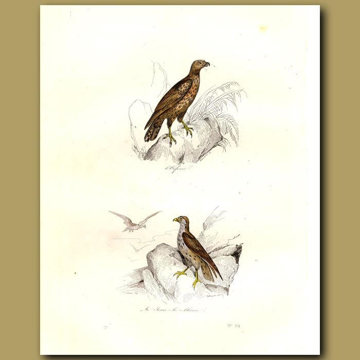 Antique print. Osprey and Blue Hawk