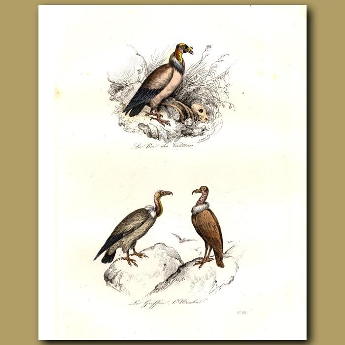 Antique print. Vulture, Griffon and Royal Vulture