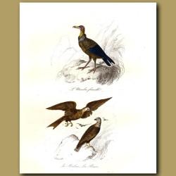Urubu (turkey Vulture) And La Buse (Buzzard)