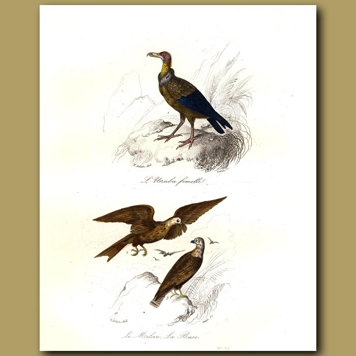Antique print. Urubu (turkey vulture) and La Buse (Buzzard)