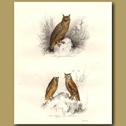 Horned Owls