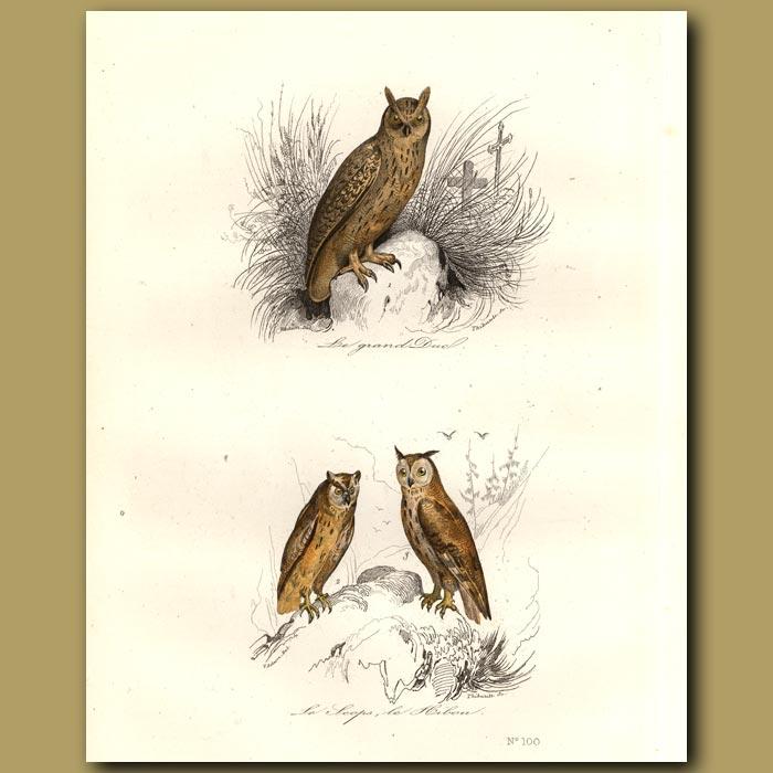 Antique print. Horned Owls