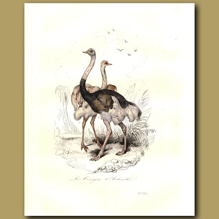 Antique print. Ostrich
