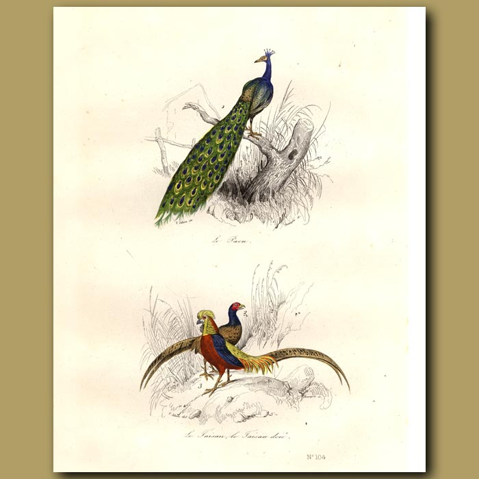 Antique print. Peacock and colourful Pheasants