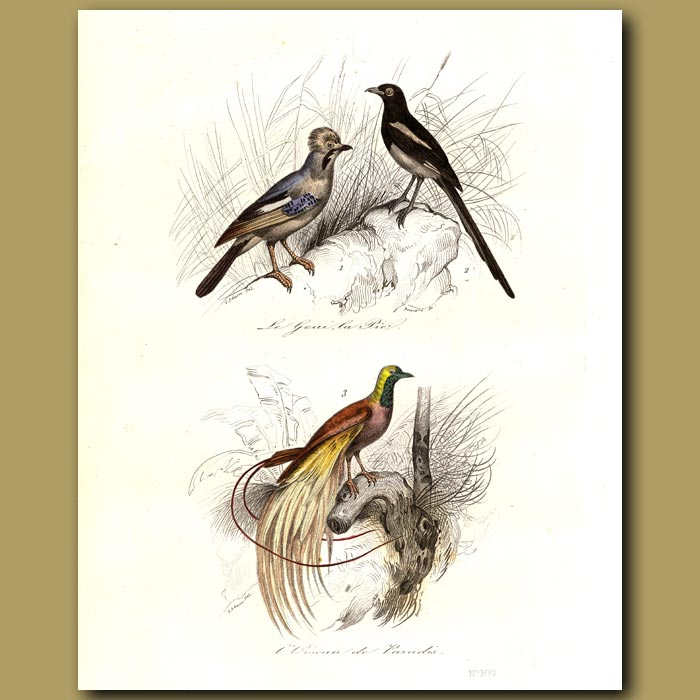 Antique print. Blue Jay, Magpie and Bird of Paradise