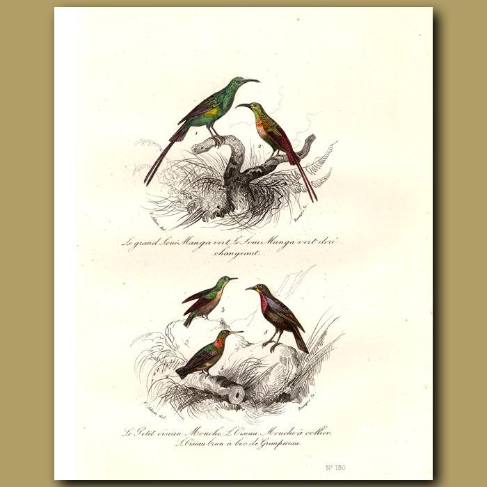 Antique print. Sunbirds