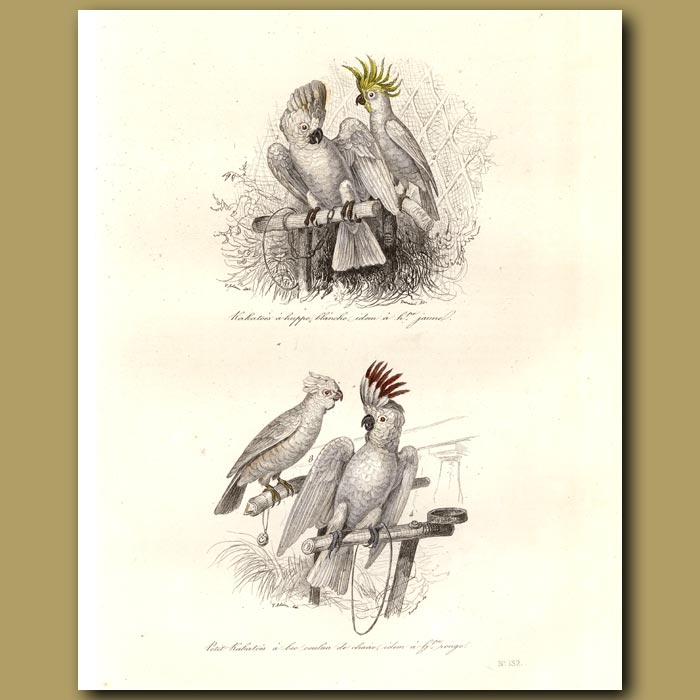 Antique print. Yellow-crested Cockatoo and Red-crested Cockatoo