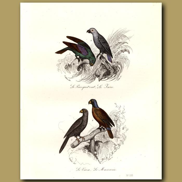 Antique print. Green Parakeet,