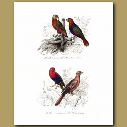 Parrots: Chattering Lory, Black Capped Lory, Red Lory