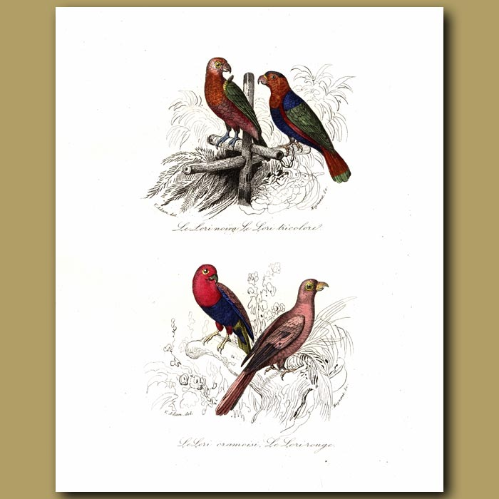Antique print. Parrots: Chattering Lory, Black Capped Lory, Red Lory
