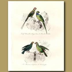 Long-Tailed Parrakeet, Rose-Ringed Parrakeet