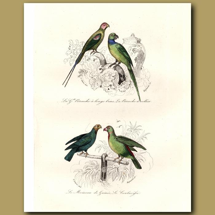 Antique print. Long-tailed Parrakeet, Rose-ringed Parrakeet