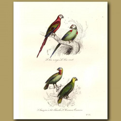 Red-Fronted Parrot, Green-Fronted Parrot, Amazonian Parrot