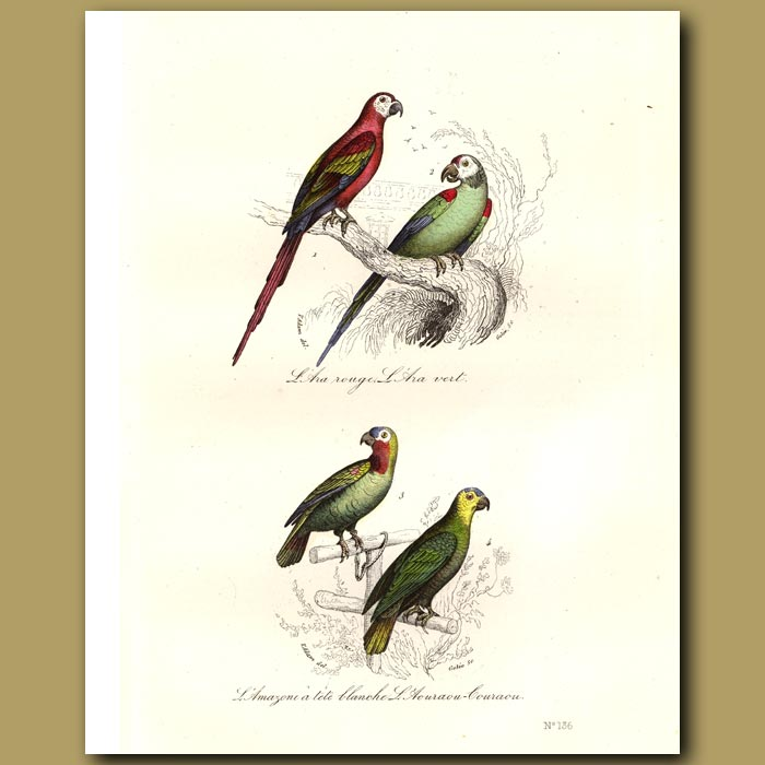 Antique print. Red-fronted Parrot, Green-fronted Parrot, Amazonian Parrot