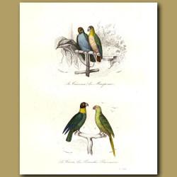 Macaw, Cacai Parrot, Green Parrot [ Guiana ]