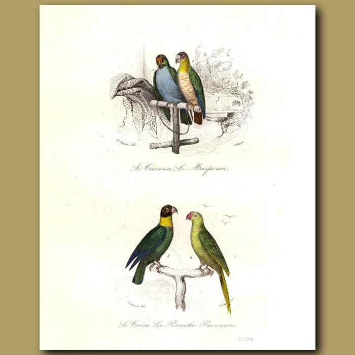 Antique print. Macaw, Cacai Parrot, Green Parrot [ Guiana ]