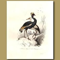 White Stork, Crowned Heron