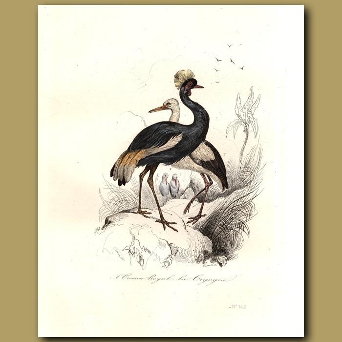 Antique print. White Stork, Crowned heron