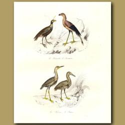 Crested Screamer, Secretary Bird, Heron, Bittern