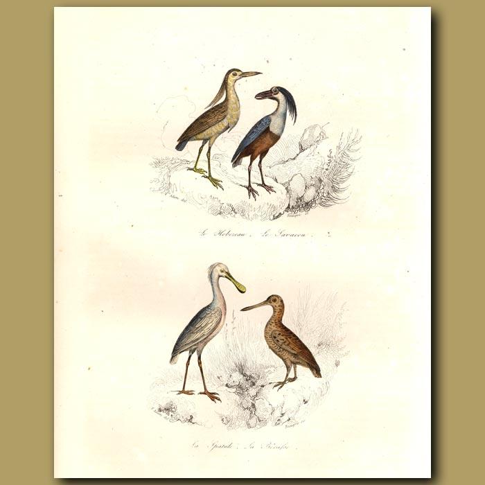 Antique print. Boat-billed heron, Spoonbill
