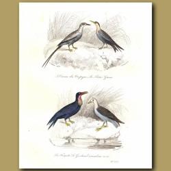 Tropic Bird And Frigate Bird