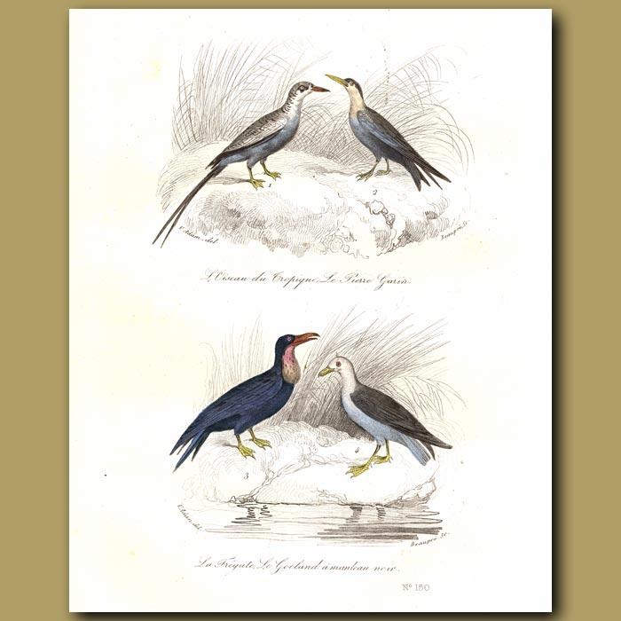 Antique print. Tropic Bird and Frigate Bird