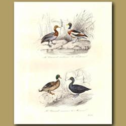 Pochard, Shelduck, Common Duck,