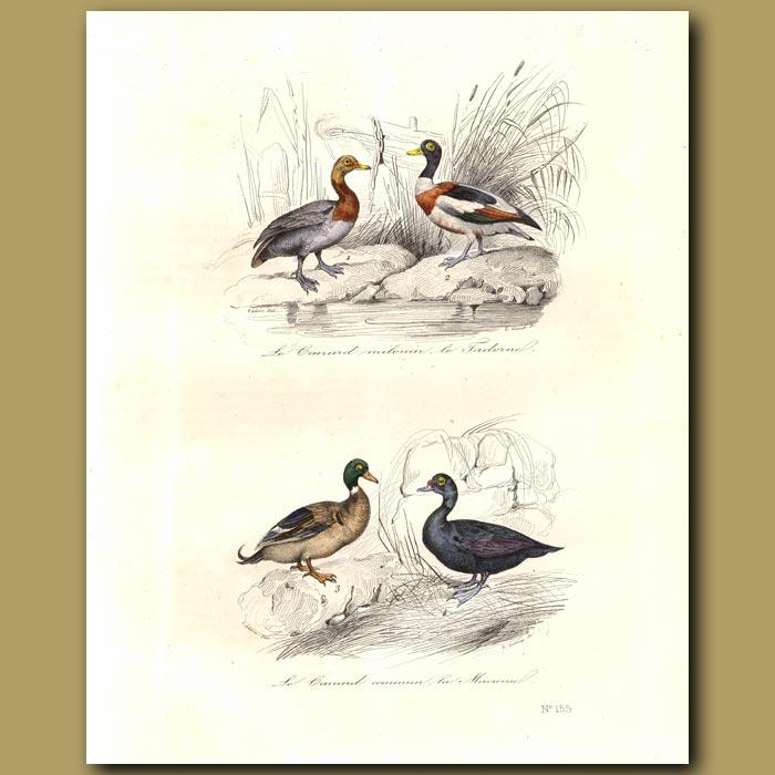 Antique print. Pochard, Shelduck, Common duck,