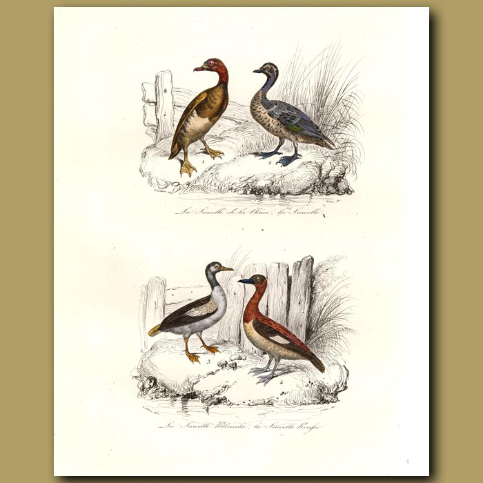 Antique print. Chinese Teal, Blue-winged Teal, White-breasted Teal, Red Tea