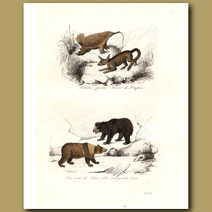 Antique print. Echidna, Siberian Bear, Fennec