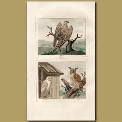 Kite, Barn Owl and Horned Owl