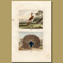 Bustard and Peacock