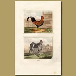 Cockerel and Turkey