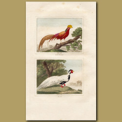 Golden Pheasant and Silver Dorking