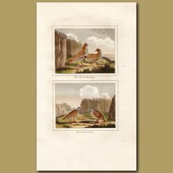 Partridge and Quails